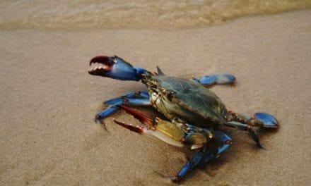 Las capturas del cangrejo azul en el Mar Menor frena al invasor
