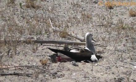1.200 parejas reproductoras de aves acuáticas en el parque de las salinas de San Pedro del Pinatar