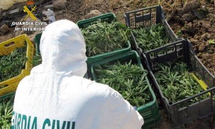 Plantación de marihuana oculta en un melonar. En total han decomisado 850 plantas de marihuana y detenido a dos personas en San Javier por la Guardia Civil.