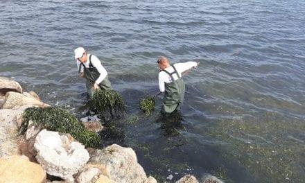 Las algas invaden las playas de Cabo de Palos y La Manga