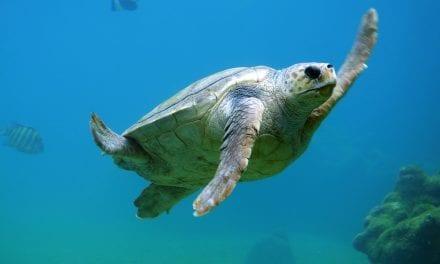 ¿Qué hacer si vemos a una tortuga marina intentando anidar?