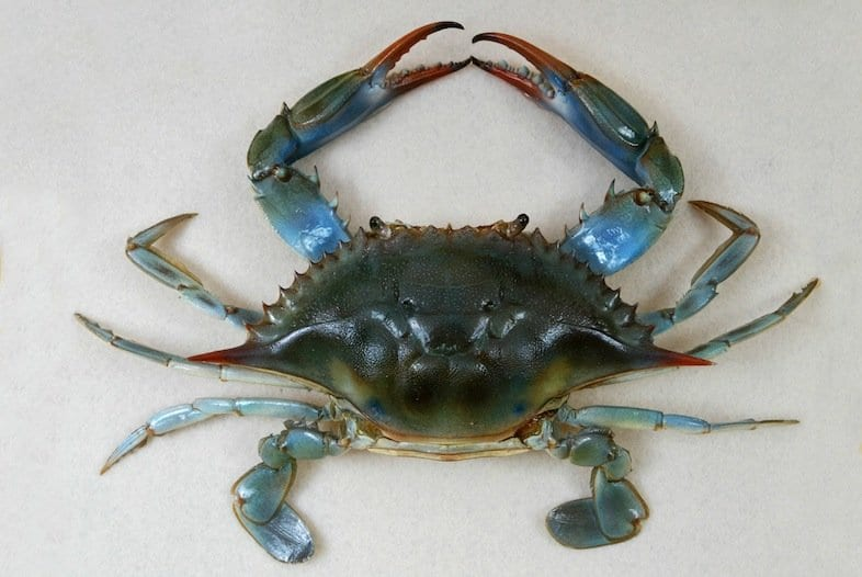 El cangrejo azul en el Mar Menor, a un paso de ser considerado invasor por ley