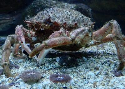 Especies invasoras - Majidae