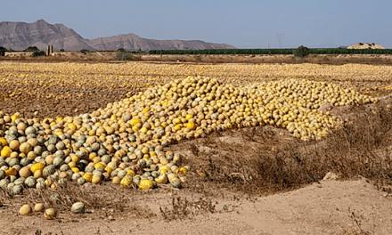 Pacto por Mar Menor denuncia el abandono de miles de melones en los campos