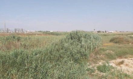 Algunos de los cauces que  desembocan el Los Alcázares  se encuentran llenos de cañizo