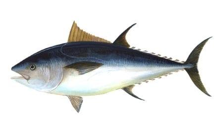 Cientos de atunes muertos son arrastrados a las playas de La Manga a consecuencia del temporal