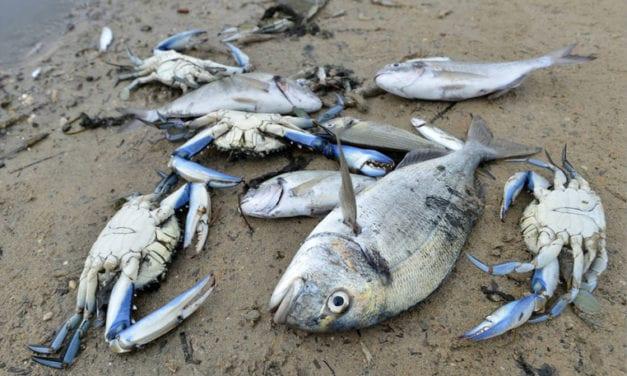 La flora y fauna del Mar Menor habría muerto masivamente en el 80% de las aguas