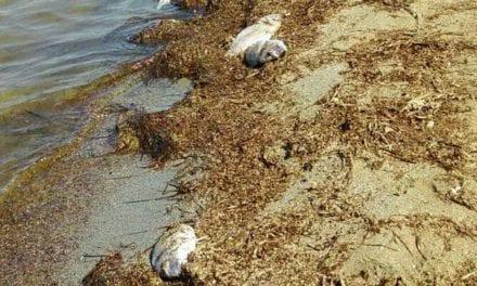"""Desde el gobierno regional aseguran que """"ya no existe anoxia"""" en el Mar Menor aunque el aumento de clorofila es """"preocupante"""""""