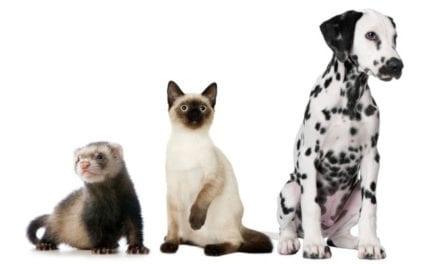 El coronavirus podría ser transmitido por las personas a perros, gatos y hurones