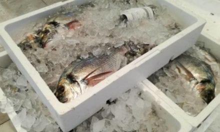Los pescadores de la Cofradia de San Pedro del Pinatar baten récord en las capturas de doradas del Mar Menor