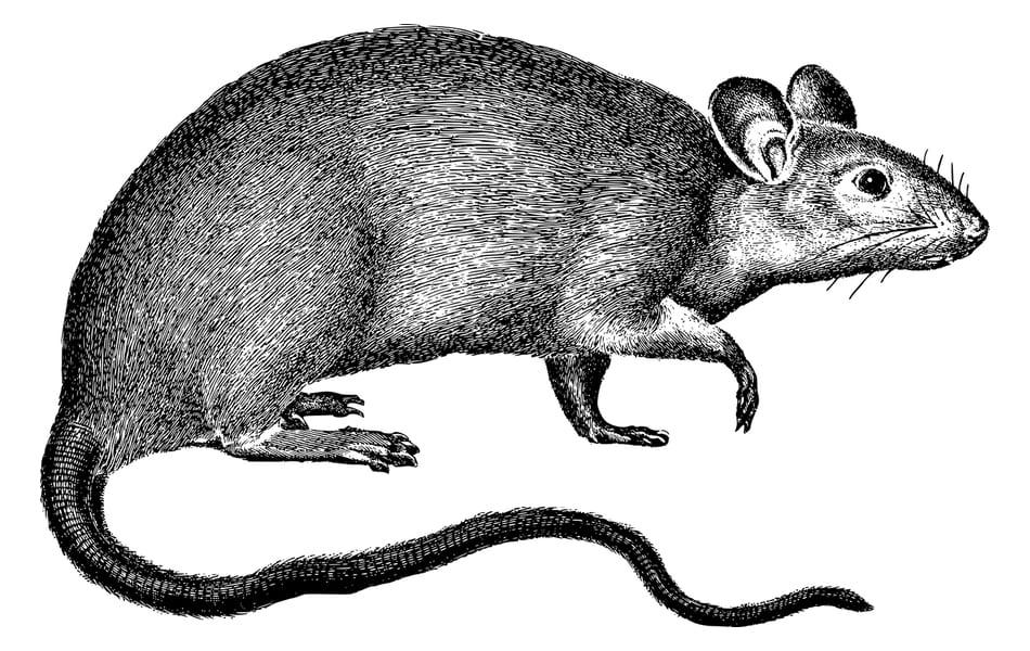 Vecinos de Los Alcázares luchan contra una plaga de ratas y serpientes