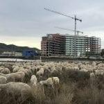 Un rebaño de 400 ovejas por la Colada del Mar Menor