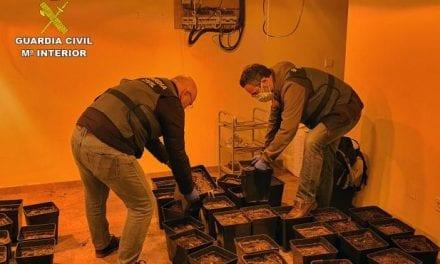 La Guardia Civil desmantela cuatro lugares de cultivo ilícito de marihuana en la zona del Mar Menor